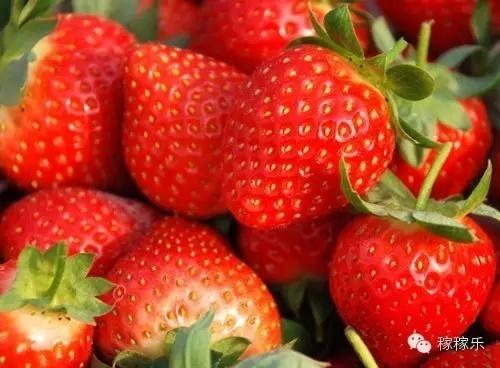 膨果疯在草莓上的应用-亚博体育app官网下载服务三农千村万户中国行【庄河站】