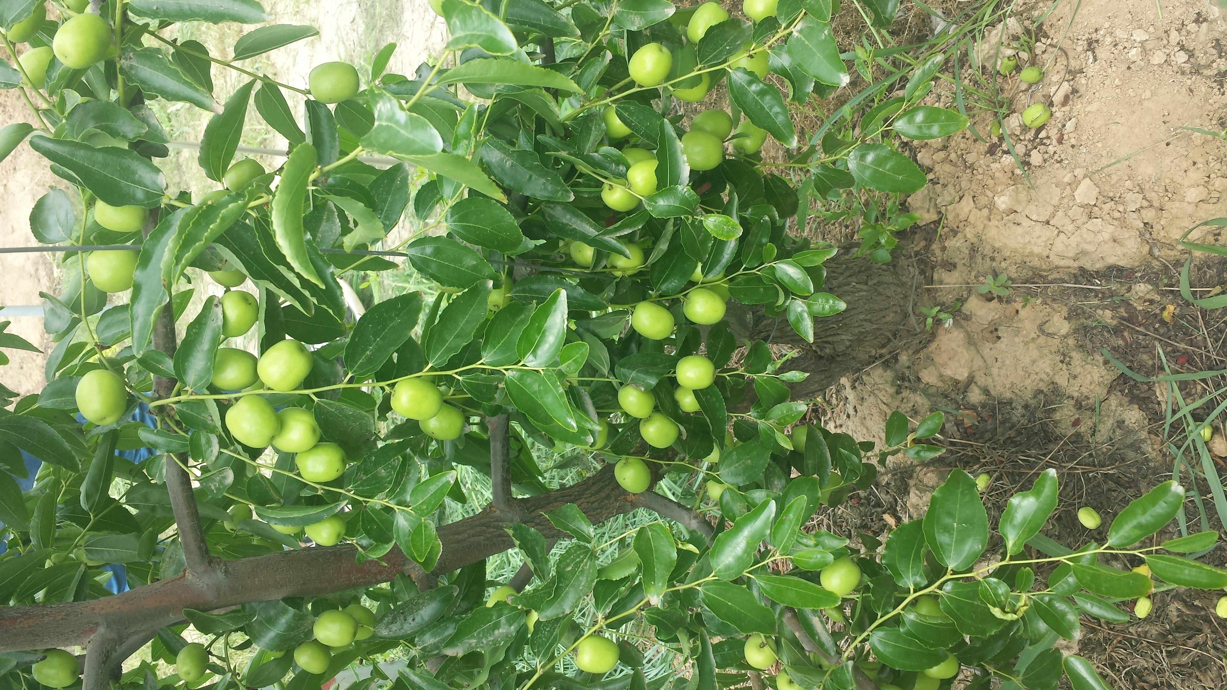 膨果疯、生殖素产品在运城枣树上的优异表现!