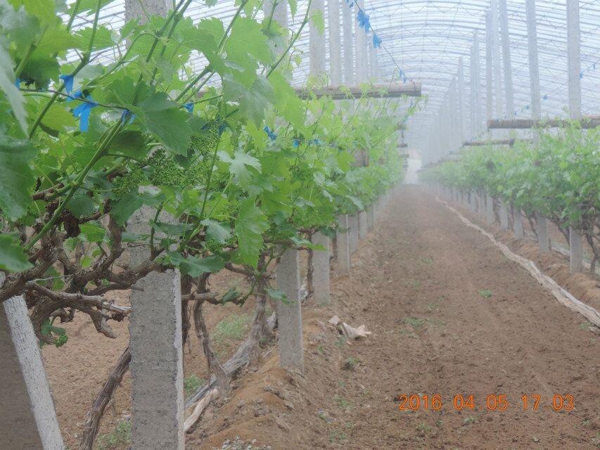 膨果疯上喷下灌在玫瑰香、红提等葡萄品种上的突出表现
