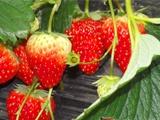 草莓粉病的发生与解决方案